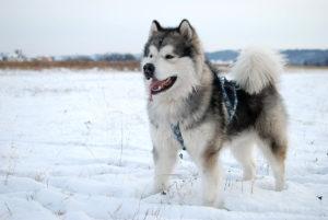 Địa chỉ huấn luyện chó Alaska uy tín, chuyên nghiệp tại Tphcm
