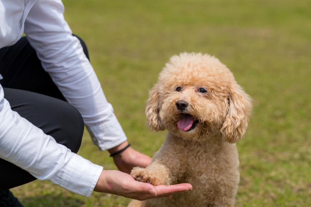 Địa chỉ huấn luyện chó Poodle chuyên nghiệp tại Tphcm