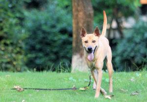 Cách huấn luyện chó Phú Quốc đơn giản thành công